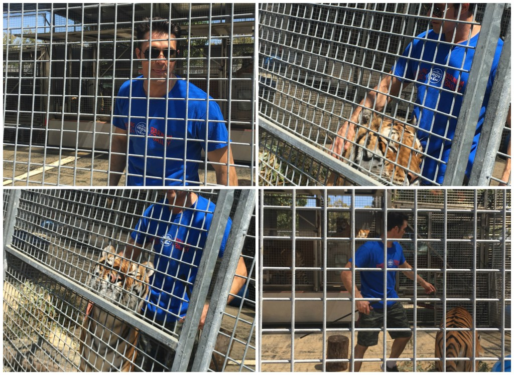 Lion Grooming with Big Cat Presenter Alexander Lacey