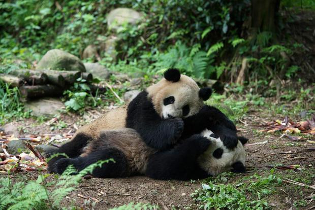 two-pandas-wrestling